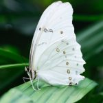 Butterfly_white_med