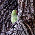 Parakeet_sm